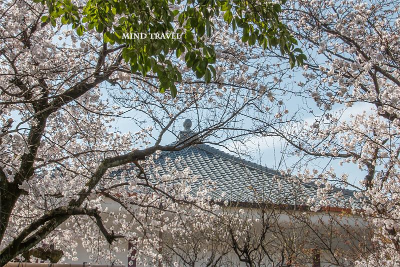 欣浄寺-桜