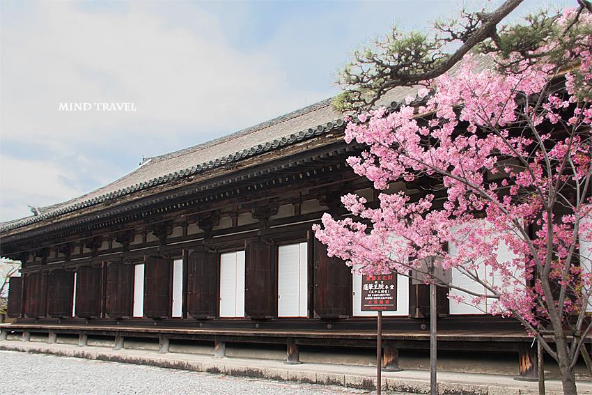 三十三間堂 桜