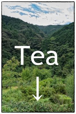 伊野町・茶摘み
