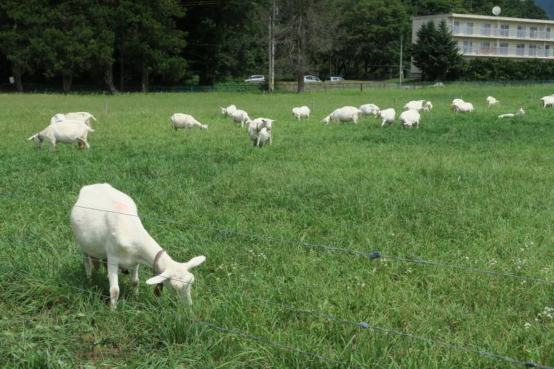 山羊の牧場