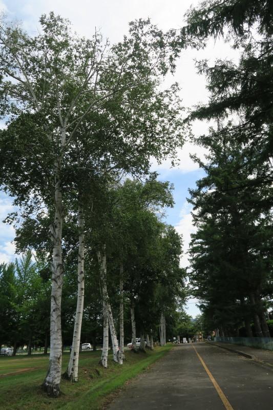 白樺と落葉松並木