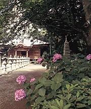 長谷寺6番紫陽花