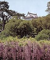 小田原城藤の花