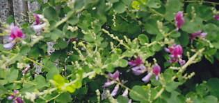 萩の花9月1日