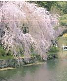 野守の池桜