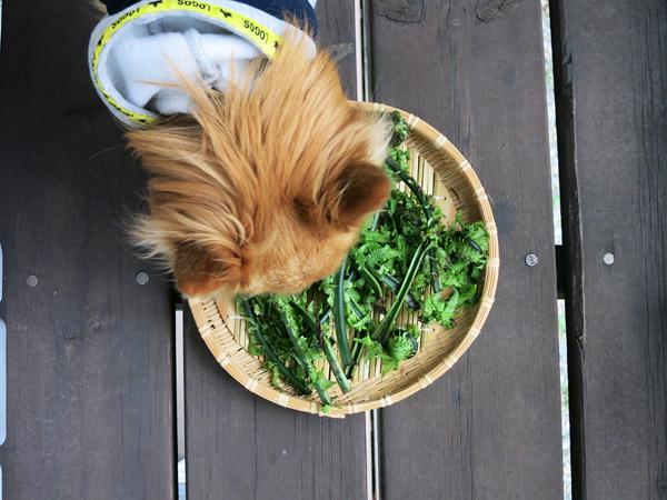 茶太郎 山菜