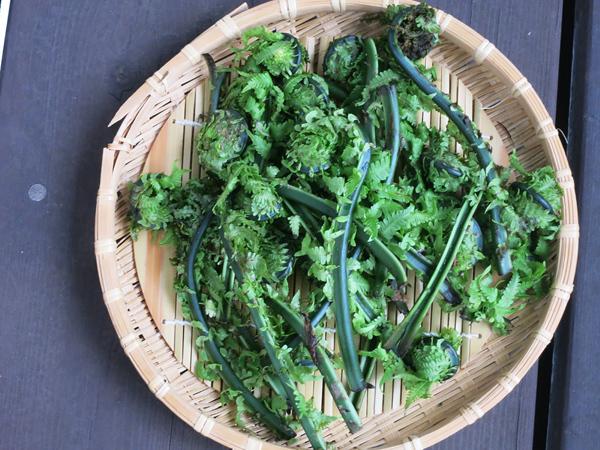 山菜 コゴミ