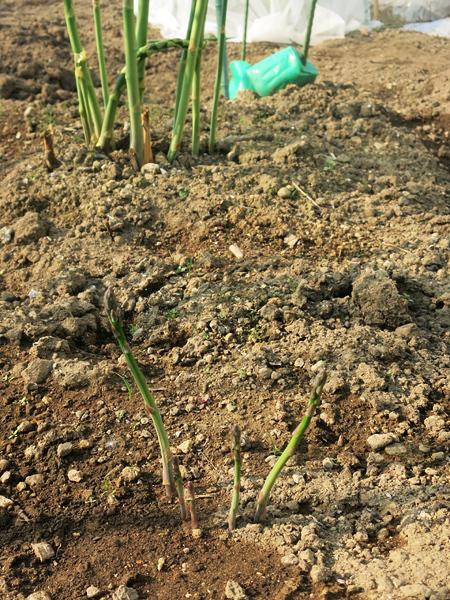 アスパラガス 二年物 発芽