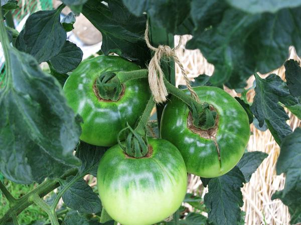 大玉トマト 青い実