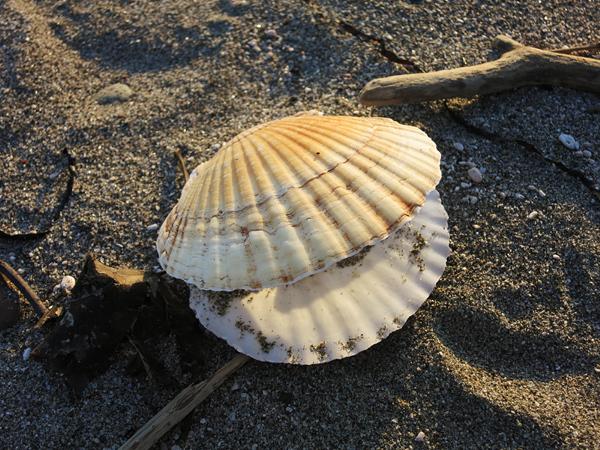 高岡オートキャンプ場 ホタテの貝殻