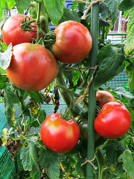 2017 大玉トマト 豊作