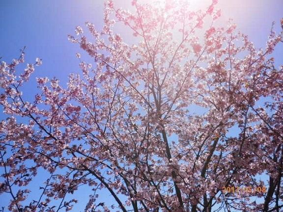 桜の開花です。 5/8