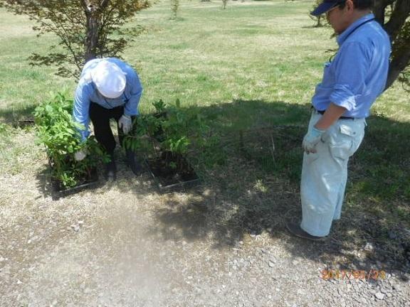 ツツジの苗木植え