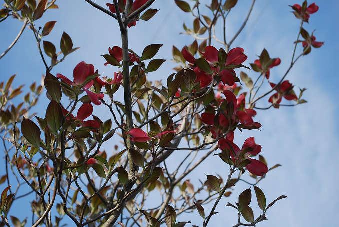 ハナミズキの花が