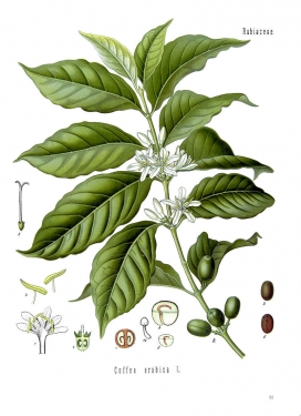 Coffea_arabica_-_Köhler–s_Medizinal-Pflanzen-189