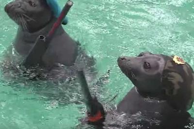 バイカル水族館がアシカに軍事訓練!!