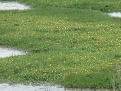 琵琶湖南湖山ノ下湾のオオバナミズキンバイ