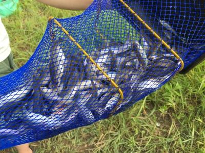 6月22日に釣ったスゴモロコ これで約100尾 23日と24日はさらに好調で00尾を超える釣果がありました