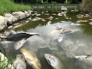 1000尾以上の魚が死んで浮いた沖縄総合運動公園内の池