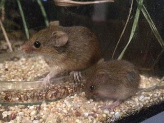 琵琶湖博物館のカヤネズミ