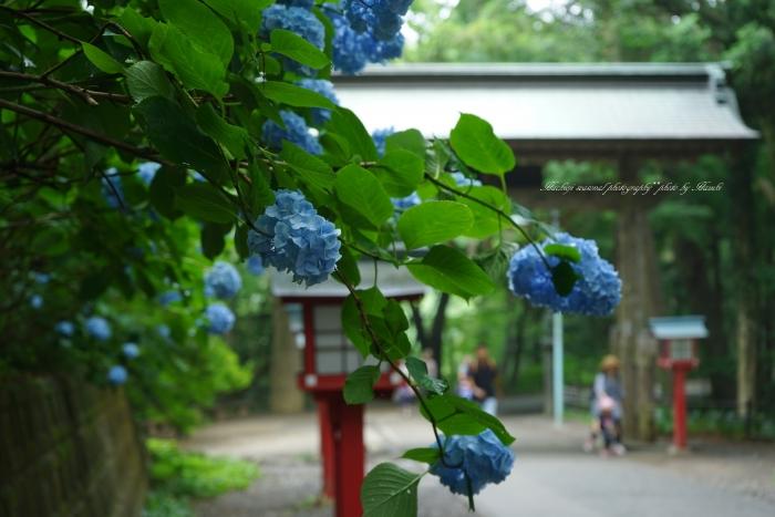 bee-高尾山アジサイ0116