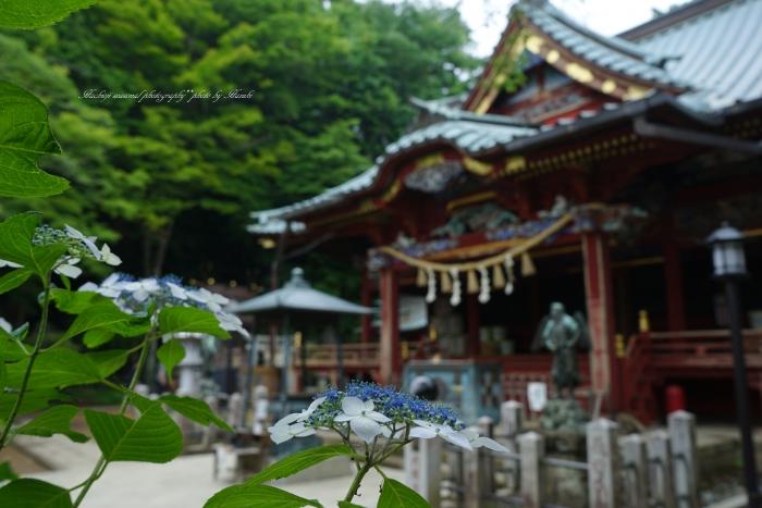 bee-高尾山アジサイ0147