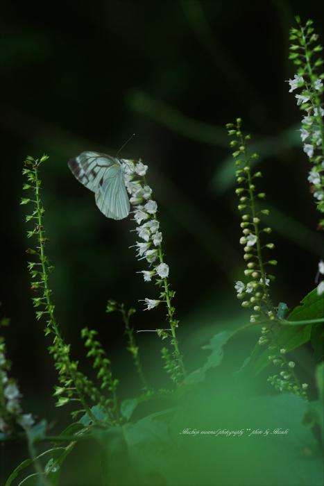 bee-夕やけ小やけシモバシラ0455-2