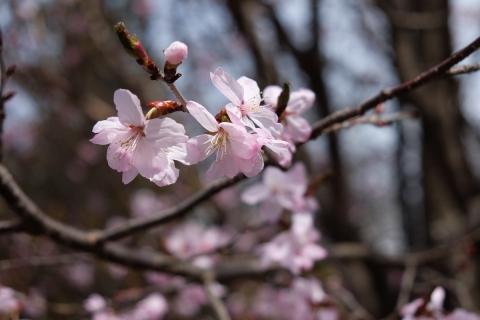 31桜咲く