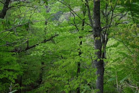 43川俣温泉へ滴る新緑