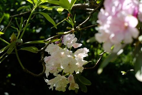 08鎌倉散歩:明月院・シャクナゲ