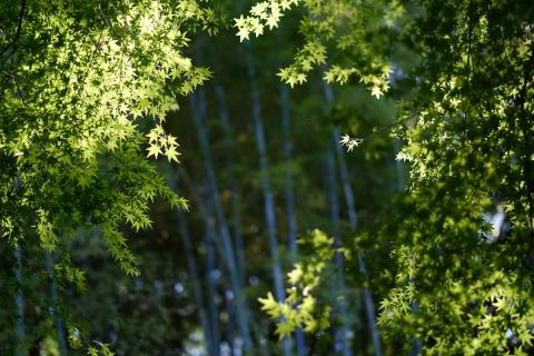 14鎌倉散歩明月院モミジと竹林