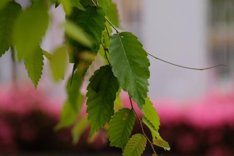 03欅の葉