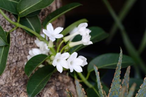 10ライズ白い花