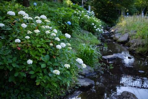 10泉の森アジサイ