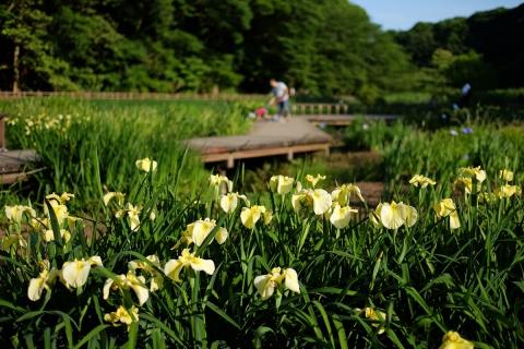 11泉の森ショウブ
