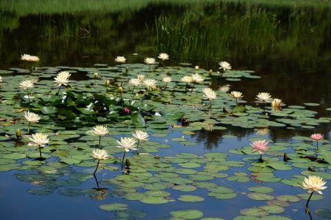 15R115旧道睡蓮の池湖