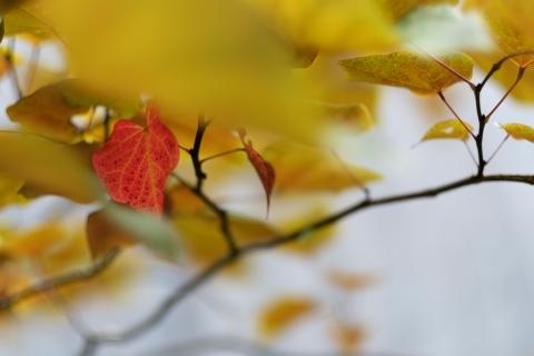 11帰り道赤い葉