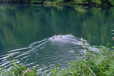 08早朝の十二湖水鳥