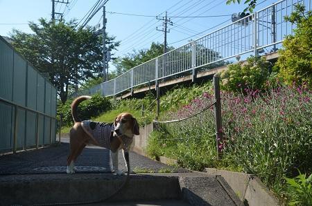 20170605佐倉城址公園01