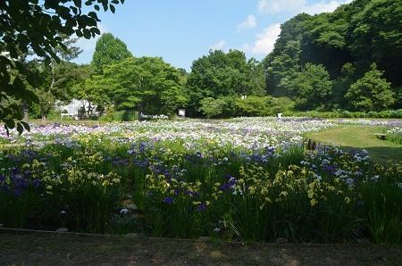 20170616佐倉城址公園の菖蒲05