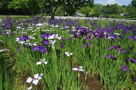 20170616佐倉城址公園の菖蒲09