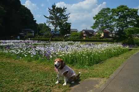 20170616佐倉城址公園の菖蒲22