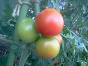 akiyo-tomato(3).jpg