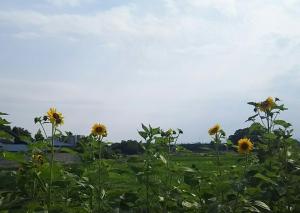 himawari-7gatu.jpg
