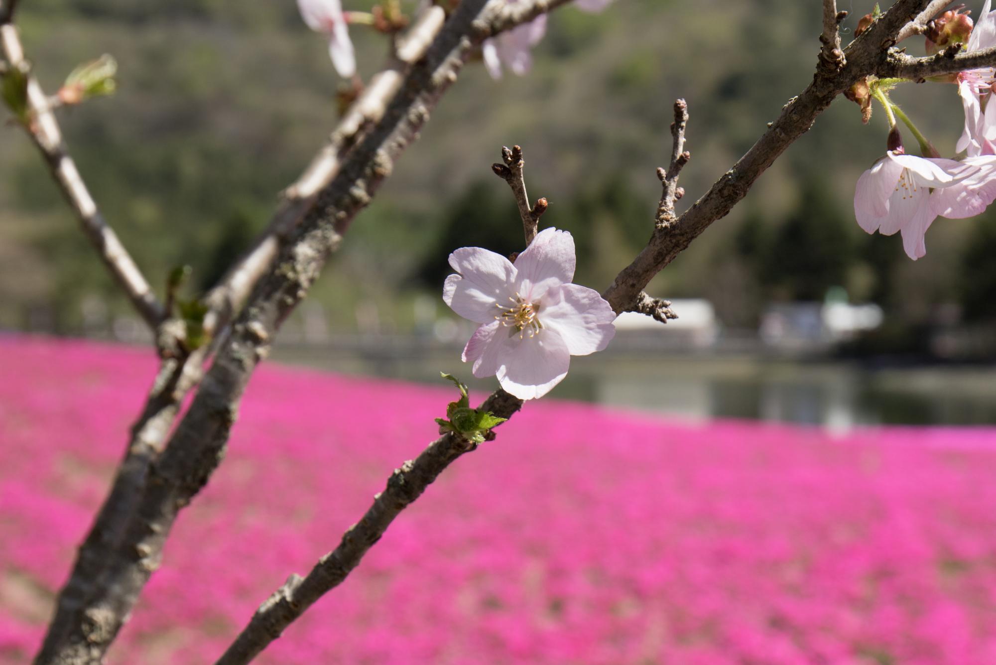 20170508-桜と芝桜