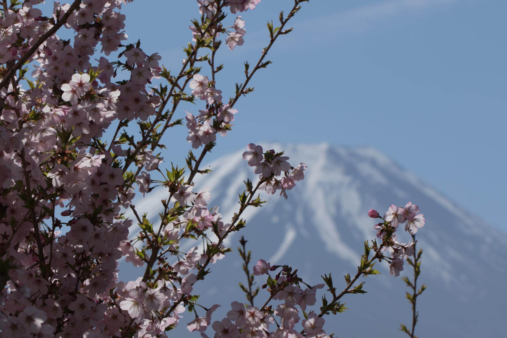20170508-桜と富士