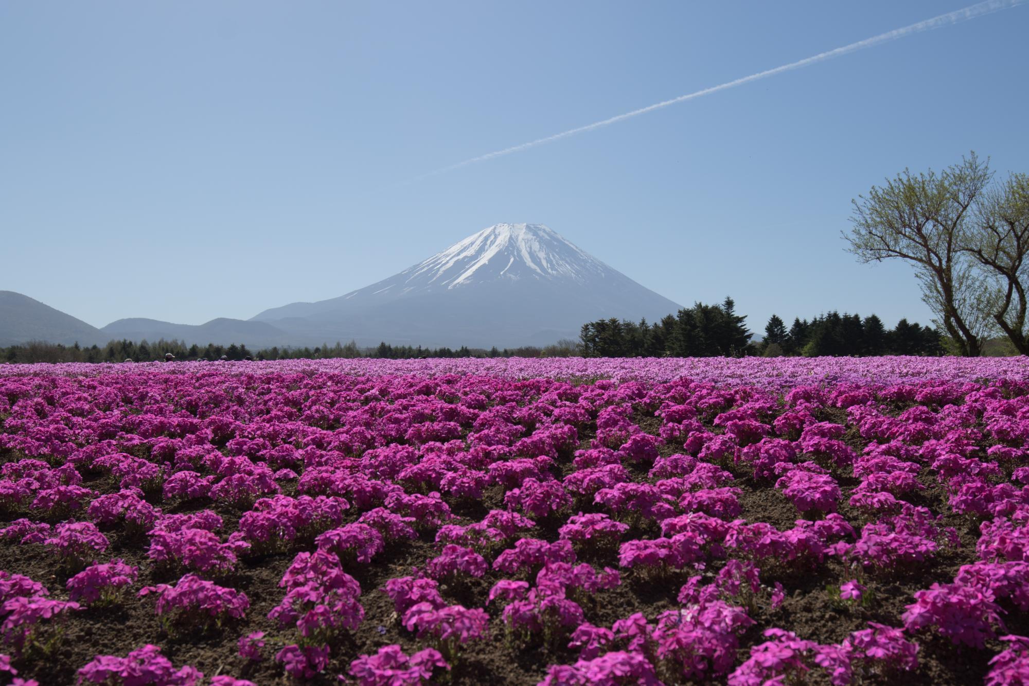 20170508-富士山と芝桜