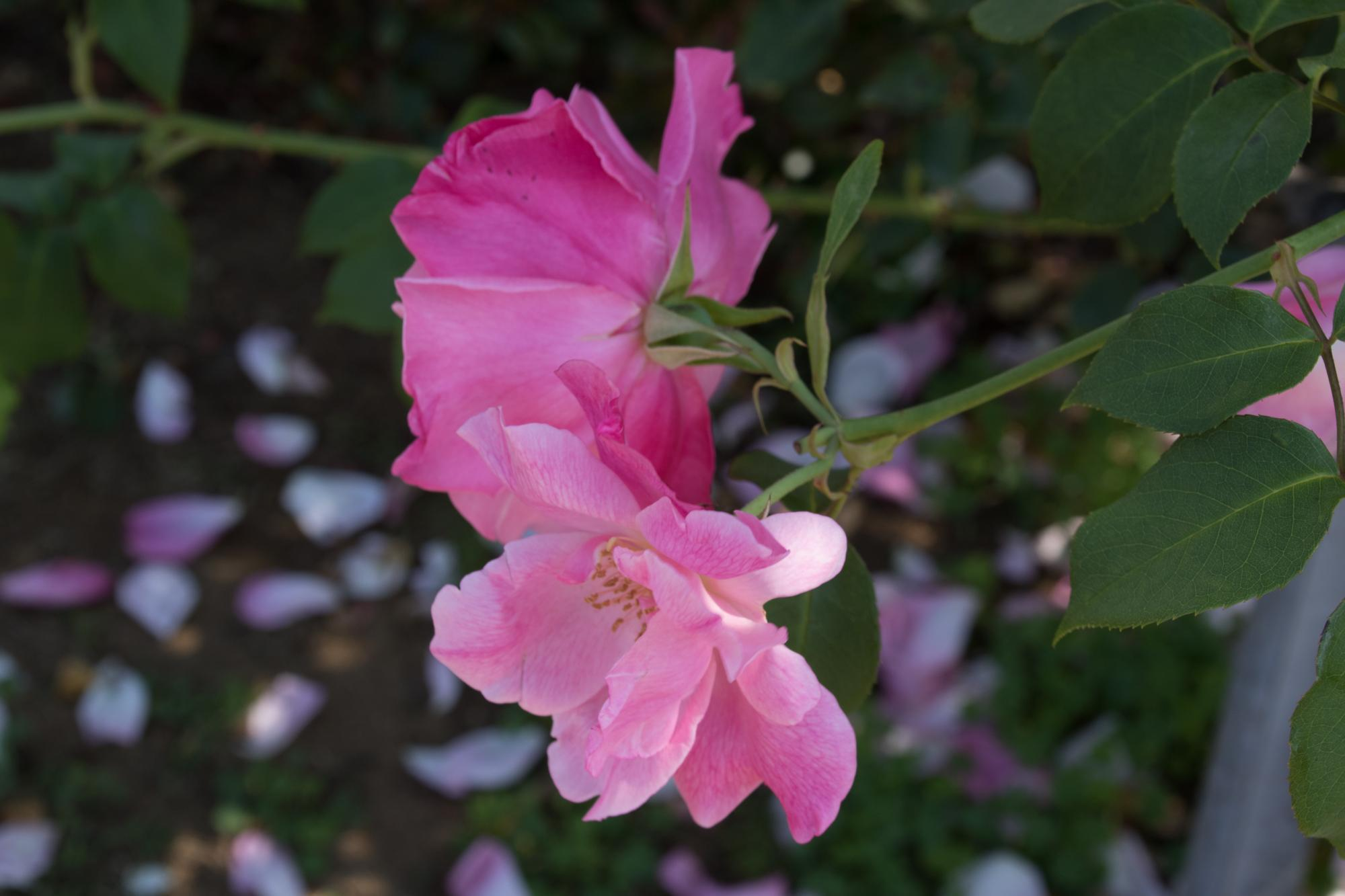 20170520-バラ花びら