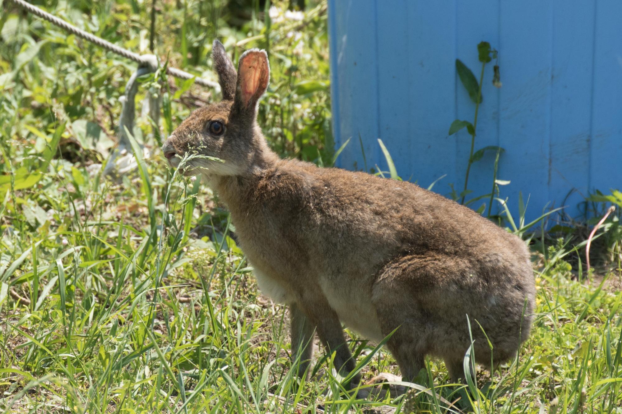 20170521-ウサギ