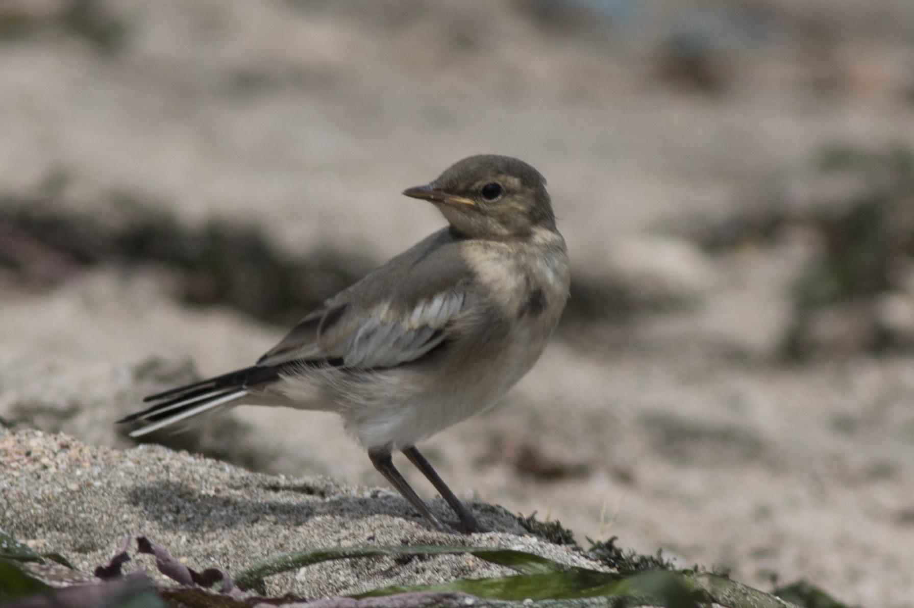 20170603-セグロセキレイ幼鳥